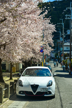 Kyoto, Japan - Apr 9, 2019. Cherry trees with flowers in Kyoto, Japan. Cherry blossom (sakura) will start blooming around the late March in Japan.