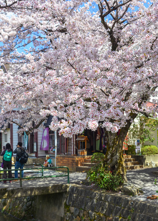 Cherry trees with flowers in Kyoto, Japan. Cherry blossom (sakura) will start blooming around the late March in Japan. Stock Photo