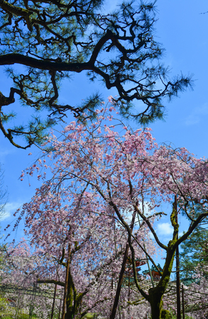 Cherry trees with flowers in Kyoto, Japan. Cherry blossom (sakura) will start blooming around the late March in Japan.