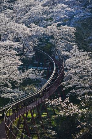 Cherry blossom with slope car track at Funaoka Castle Ruin Park in Fukushima, Japan. 版權商用圖片 - 122885223