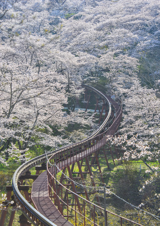 Cherry blossom with slope car track at Funaoka Castle Ruin Park in Fukushima, Japan. Zdjęcie Seryjne - 122885228