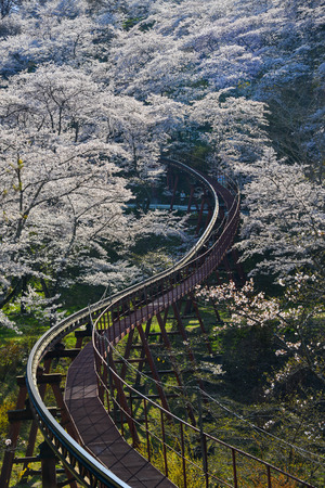 Cherry blossom with slope car track at Funaoka Castle Ruin Park in Fukushima, Japan. Zdjęcie Seryjne - 122885362
