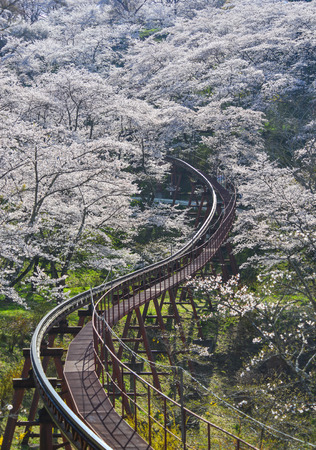 Cherry blossom with slope car track at Funaoka Castle Ruin Park in Fukushima, Japan.