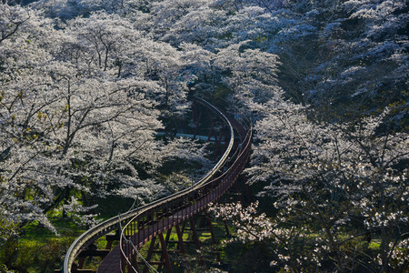 Cherry blossom with slope car track at Funaoka Castle Ruin Park in Fukushima, Japan.