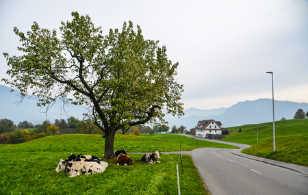 Cows relax on the grass in Lucerne, Switzerland. Swiss cheese is one of the famous agricultural products in the world.