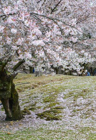 Japanese cherry blossoms at spring time in Kyoto, Japan. Standard-Bild - 122891979