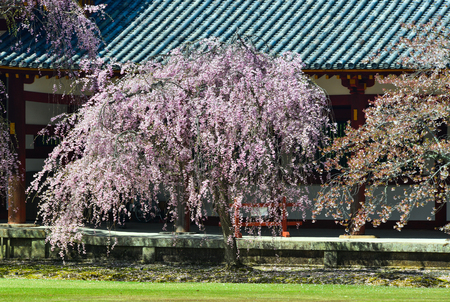 Cherry flowers with ancient building in Nara, Japan. Nara is the old capital of Japan, with a lot of heritages.
