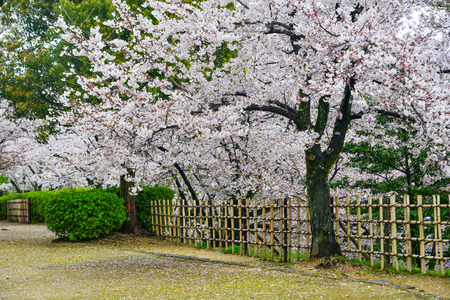 Japanese cherry blossoms at spring time in Kyoto, Japan. Standard-Bild - 122950498