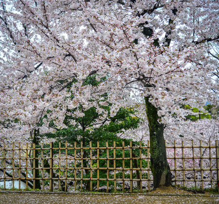 Japanese cherry blossoms at spring time in Kyoto, Japan. Standard-Bild - 122892066