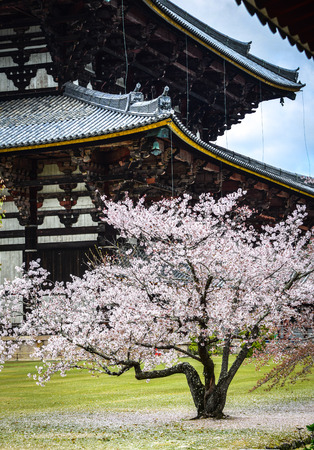 Ancient Buddhist temple Todai-ji with cherry blossom in Nara, Japan.