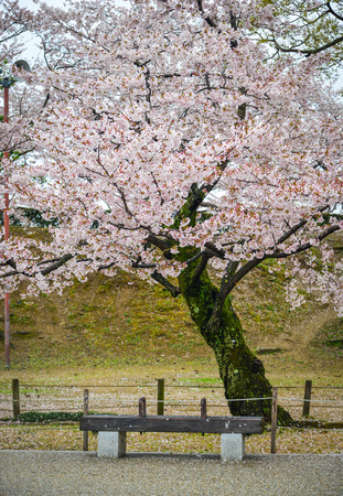 Japanese cherry blossoms at spring time in Kyoto, Japan.