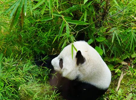 Oso panda gigante comiendo bambú. Panda es el símbolo turístico chino.