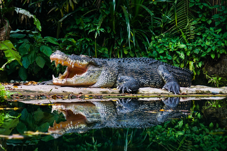 A dangerous crocodile in deep forest with many green plants.