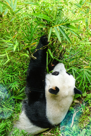 Giant Panda bear eating bamboo. Panda is the Chinese tourist symbol.