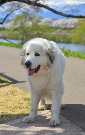 Portrait of a white dog Labrador Retriever playing at the park in sunny day.