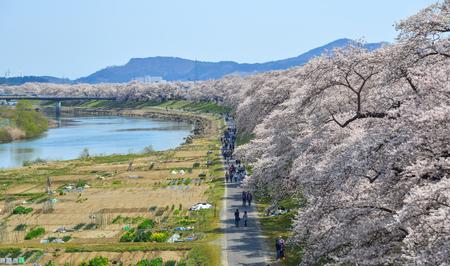 Cherry blossom near Shiroishi River at sunny day in Miyagi, Japan. Imagens
