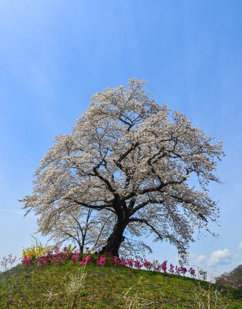 Cherry blossom near Shiroishi River at sunny day in Miyagi, Japan. Stock Photo