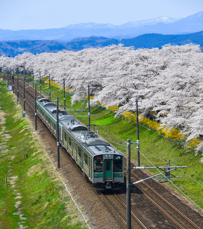 Miyagi, Japan - April 14, 2019. Landscape scenic view of Tohoku train with full bloom of sakura (cherry blossom).