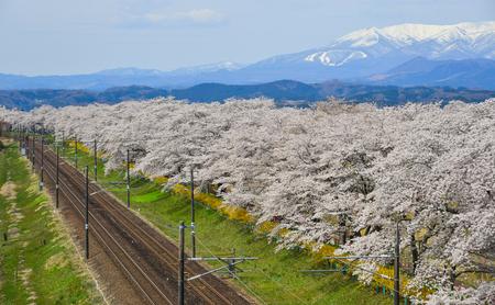 Landscape scenic view  of sakura (cherry blossom) with railway track and Zao Mountain Range background. Фото со стока