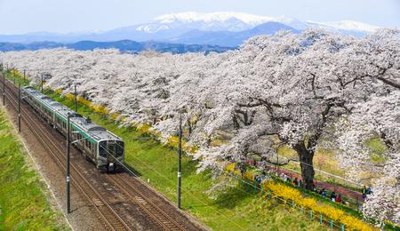 Miyagi, Japan - 14. April 2019. Landschaftlich malerische Aussicht auf den Tohoku-Zug mit voller Blüte von Sakura (Kirschblüte).