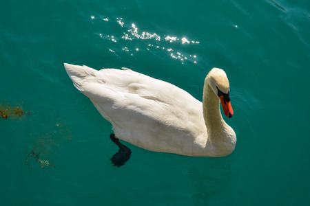 Beautiful swan swimming in crystal clear water of mountain lake. Reklamní fotografie - 122894722