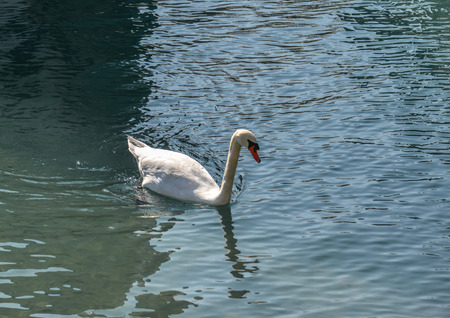 Beautiful swan swimming in crystal clear water of mountain lake.