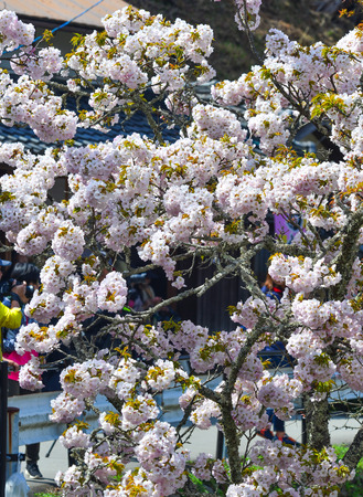 Cherry trees and flowers in Yoshino Park, Japan. Yoshino is a very popular spot for Hanami during cherry blossom season.