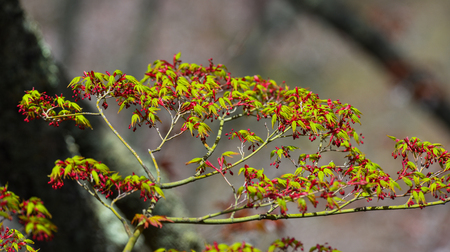 Young maple leaves under sun light in spring time. Standard-Bild - 122898607