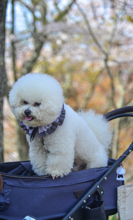 A white Poodle dog playing at the cherry blossom park in Nara, Japan.