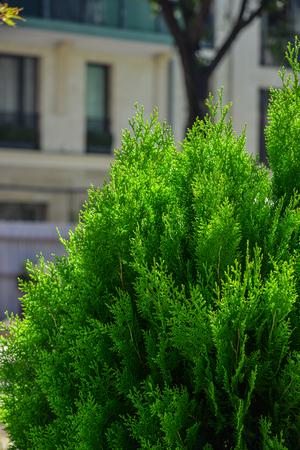 Pine tree at botanic garden in sunny day.