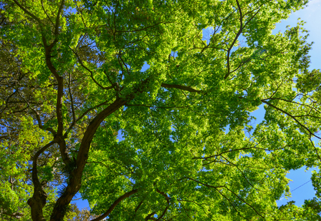 Young maple leaves under sun light in spring time. Stockfoto - 123221705