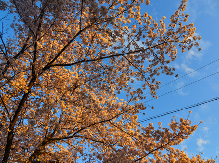 Cherry blossom (sakura) on Philosopher Walk in Kyoto, Japan. Фото со стока