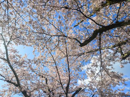 Cherry blossom (sakura) on Philosopher Walk in Kyoto, Japan. Archivio Fotografico - 125229147