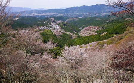 Cherry blossom at spring time in Kyoto, Japan. Hanami (cherry flower viewing) in Japan is a long tradition, attracting many tourists.