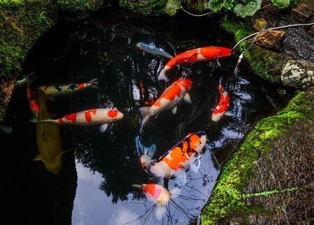 Colorful Koi fish on the pond in Kyoto, Japan. Koi fish is kept for decorative purposes in outdoor zen gardens.