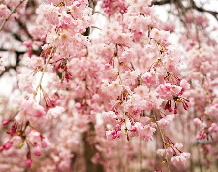 Cherry blossom (Sakura) in Kyoto, Japan. Cherry blossom festivals are one of the most colorful events of the year in Japan.