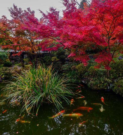 Koi fish pond at autumn garden in Kyoto, Japan. Koi fish is kept for decorative purposes in outdoor zen gardens. Stock Photo
