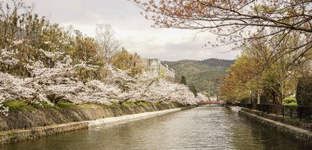 Cherry blossom on river bank in Kyoto, Japan. Cherry blossom festivals are one of the most colorful events of the year in Japan.