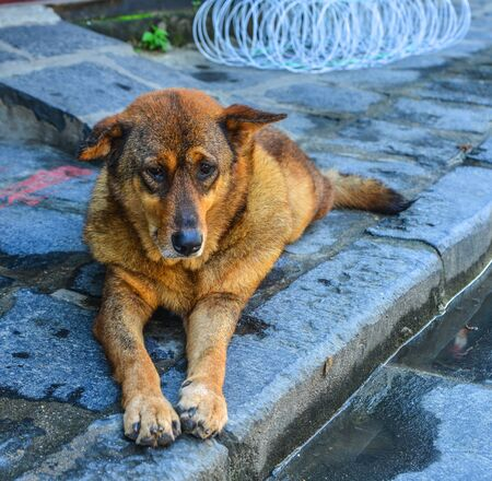 A sad dog lying on the street in Hoi An, Vietnam.