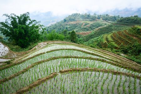 Terraced rice field with bamboo trees in Sapa, Vietnam. Sapa is a beautiful, mountainous town in northern Vietnam along the border with China.
