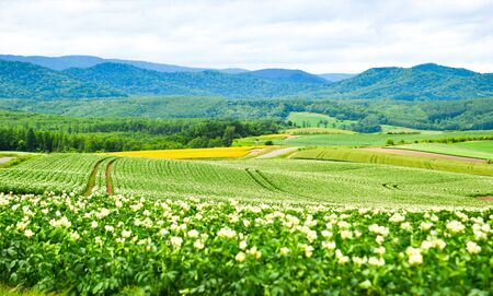 Potato field with flowers at summer day in Furano Township, Hokkaido, Japan.