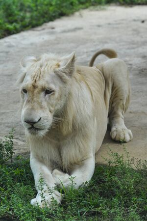 A White Transvaal lion (Panthera leo krugeri) playing in the zoo.