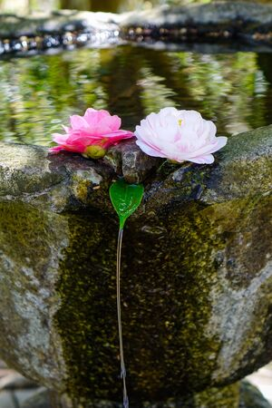 Camellia flowers floating on the stone water pot for decorations in Buddhist pagoda. Фото со стока