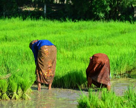 Farmers working on paddy rice field in Can Tho, Vietnam. Rice production in the Mekong Delta is important to the food supply. Stock fotó
