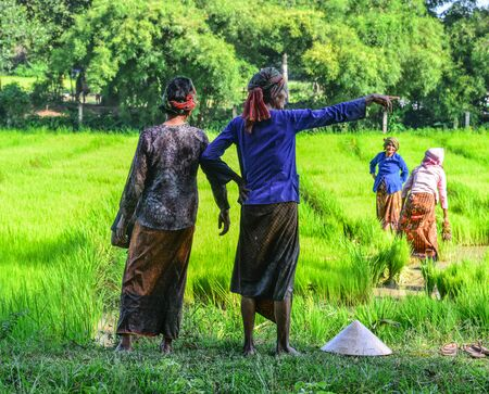 Can Tho, Vietnam - Sep 2, 2017. Farmers working on paddy rice field in Can Tho, Vietnam. Rice production in the Mekong Delta is important to the food supply.