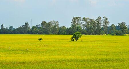 Rice field at the harvesting season in An Giang, Mekong Delta, Vietnam.