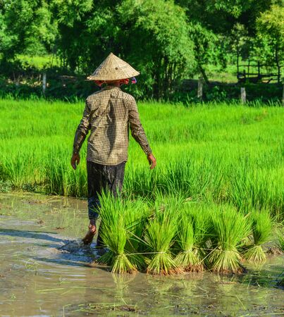 A woman working on paddy rice field in Can Tho, Vietnam. Rice production in the Mekong Delta is important to the food supply.