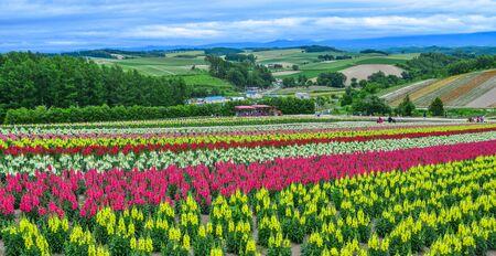 Campo de flores de colores en un lugar popular para hacer turismo en la ciudad de Biei, Hokkaido, Japón. Foto de archivo