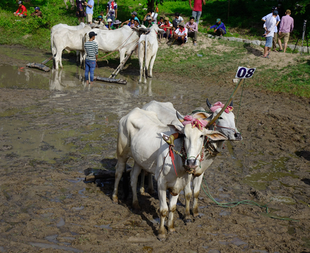 Chau Doc, Vietnam - Sep 3, 2017. Ox racing on rice field at sunny day. Ox racing is an annual community cultural activity in the flood season.