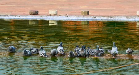 Pigeons drinking water on the pond at ancient temple in Agra, India.
